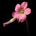 Oxalis tetraphylla20150428 3043.jpg