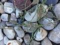 Oxyspermum subsp. raii plant (06).jpg