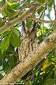 Pacific Screech Owl, Costa Rica, January 2018 (40954889841).jpg