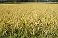 Paddy field in Kasama, Ibaraki 07.jpg