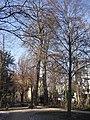 Paderborn - Catalpa im Geisselschen Garten.jpg