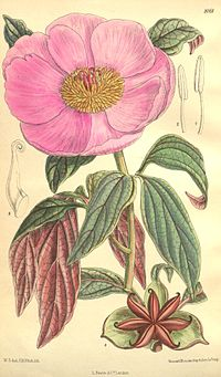 Paeonia cambessedesii Bot. Mag. 133. 8161. 1907