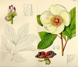 Paeonia Daurica Subsp Tomentosa Wikispecies