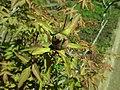 Paeonia suffruticosa 2019-04-16 1008.jpg