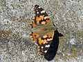 Painted Lady Butterfly - Flickr - GregTheBusker.jpg
