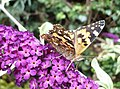 Painted lady butterfly on a buddleia bush in Davington - geograph.org.uk - 1411076.jpg
