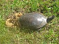 Painted turtle covering eggs (13925779745).jpg