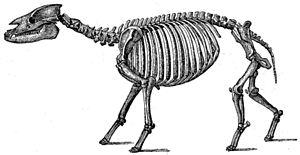 Palaeotherium - Skeletal restoration of P. magnum
