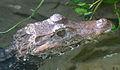 Paleosuchus palpebrosus.jpg