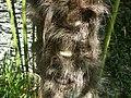 Palmier chanvre - écorce.jpg