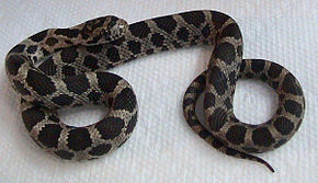 Description de l'image Pantherophis gloydi.jpg.