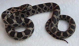 <i>Pantherophis gloydi</i> species of reptile