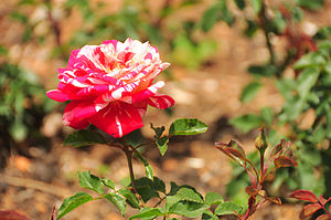 Government Rose Garden, Ooty - Government Rose Garden, Ooty