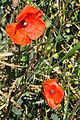 Papaver (Roter Mohn) - Affoltern - Katzensee 2011-07-03 15-01-32.JPG