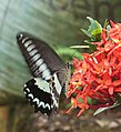 Papilio liomedon Moore, 1874 – Malabar Banded Swallowtail on Ixora coccinea at Peravoor (3).jpg