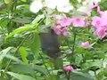 File:Papilio maackii -Hokkaidō, Japan.ogv