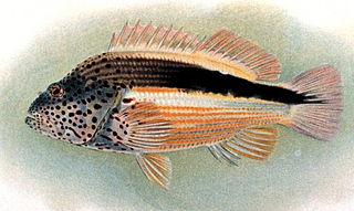 Black-sided hawkfish species of fish