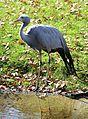Paradieskranich Anthropoides paradisea Tierpark Hellabrunn-10.jpg