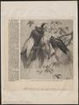 Paradisea minor - 1862 - Print - Iconographia Zoologica - Special Collections University of Amsterdam - UBA01 IZ15700121.tif