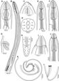 Parasite180070-fig1 Rasheedia heptacanthi (Nematoda, Physalopteridae).png