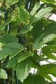 Passiflora coccinea 0zz.jpg