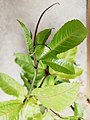 Passiflora edulis en crecimiento.jpg