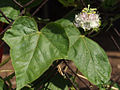 Passiflora foetida - DSCF2778.JPG