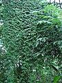 Passiflora loefgrenii (BG Zurich)-05.JPG