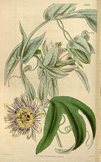 Passiflora mooreana Bot. Mag. 66. t. 3773. 1840