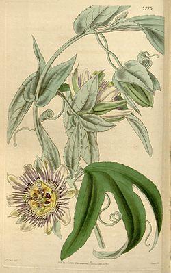 Passiflora mooreana Bot. Mag. 66. t. 3773. 1840.jpg