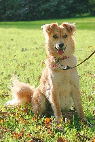 Basque Shepherd Dog - A young fawn-colored Basque Shepherd Dog (variety Gorbeiakoa)