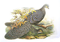 PeacockPheasantGould