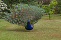 Peacock (5741760265).jpg