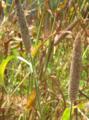 Pearl millet.png