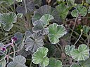 Pelargonium sidoides Leaves 3264px