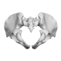 Pelvis (male) 03 - inferior view.png