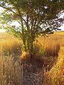 Pemë e kajsisë në Fushën e Kosovës.jpg
