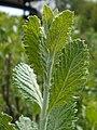 Perovskia atriplicifolia 2017-05-23 1121.jpg