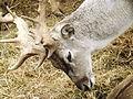 Persian Fallow Deer feeding 04.jpg
