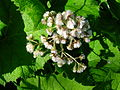Petasites hybridus seeding.JPG