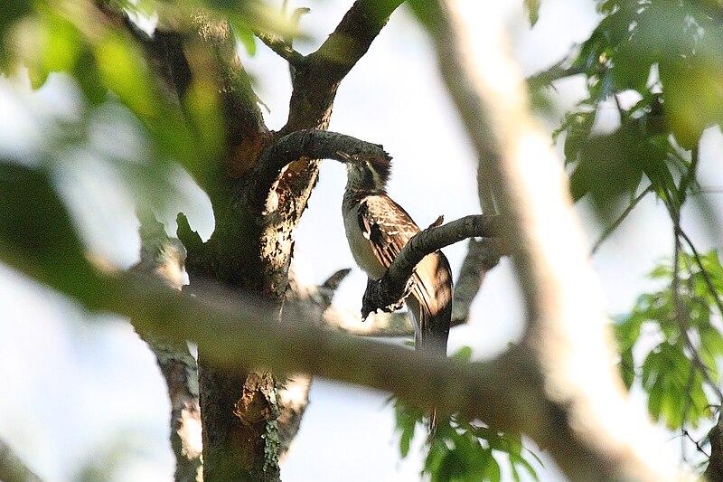 Ficheiro:Pheasant Cuckoo 2396619159.jpg