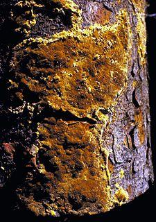 <i>Phellinus weirii</i> species of fungus