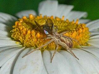 <i>Thanatus</i> genus of arachnids