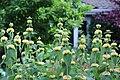 Phlomis russeliana IMG 0068.jpg