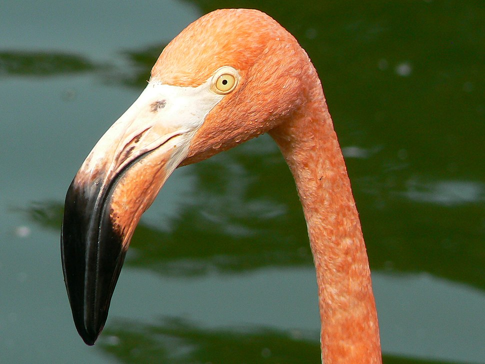 Phoenicopteridae face