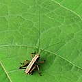 Pholidoptera Kiev2.JPG