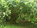 Photo of Ilex Guayusa tree.jpg