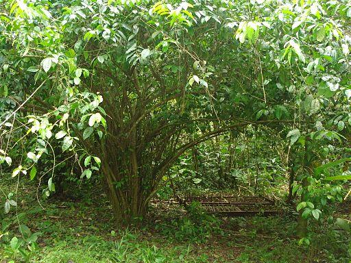 Photo of Ilex Guayusa tree