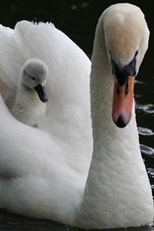 220px-Photojenni_-_Aboard_the_swan_ferry_%28by%29 dans CYGNE