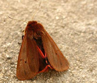 Phragmatobia fuliginosa - Phragmatobia fuliginosa, Dorsal view